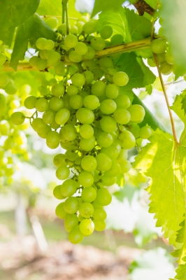 grapesID-100125016